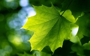 green_leaf-wide